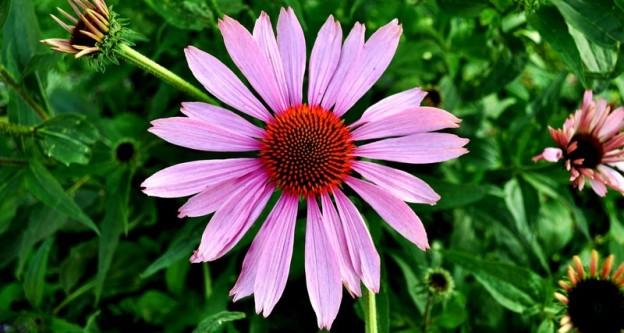 echinacea-flora-floral-660