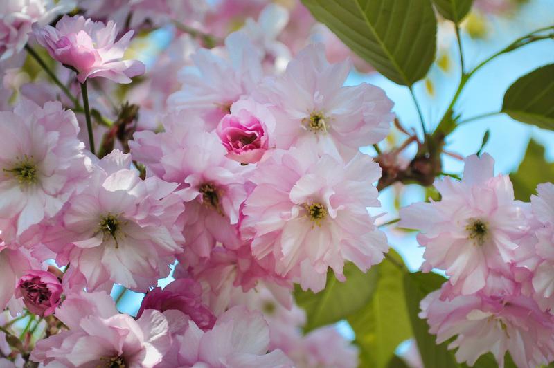 flower-blossoms-pink